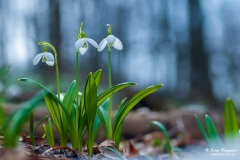 Spring snowdrop flowers in spring forest on blurred bokeh background