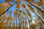 Autumn trees pattern. Bottom view of birch trees in autumn forest