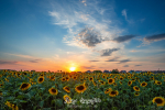 Magnificent sunset over sunflower field. Agriculture concept background