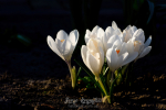 Beautiful blooming white crocuses on dark background