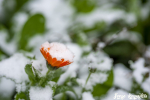 Autumn changing to winter. Bright orange calendula flower strewn with the first snow
