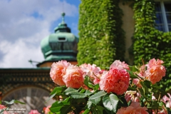 Roses in Lancut castle, Subcarpathian Voivodeship, Poland